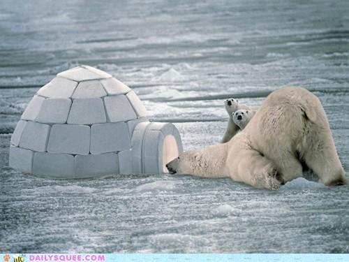 acting like animals,bear,bears,goldilocks and the three bears,hello,igloo,peeking,polar bear,polar bears,question,story
