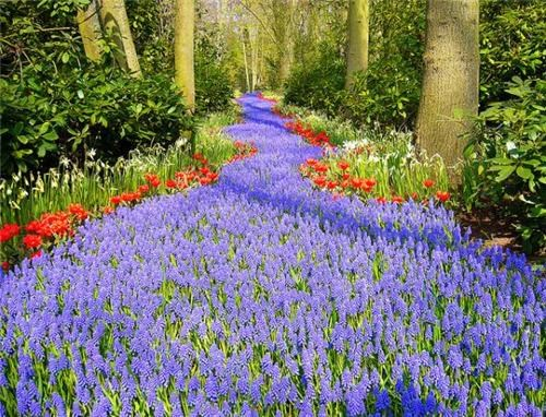 Bluebell Path, Keukenhof, Holland, Netherlands