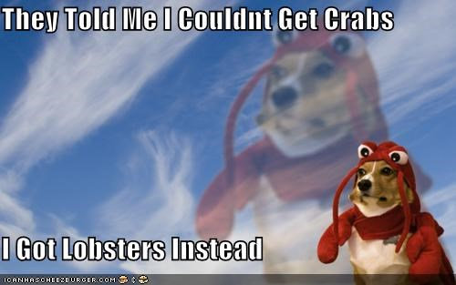 animals,corgis,costume,crabs,dogs,i has a hotdog,lobster dog,lobsters,STDs,they told me