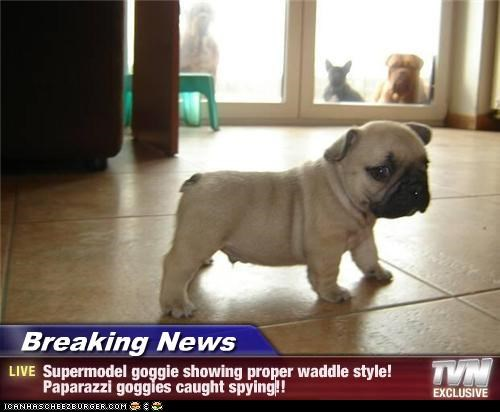 Breaking News - Supermodel goggie showing proper waddle style! Paparazzi goggies caught spying!!