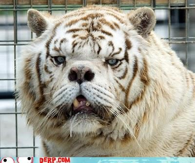 Social Good Saturday: White Tigers