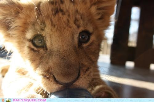 adorable,baby,cub,face,irresistible,lion,nibbling,opposite,suckling