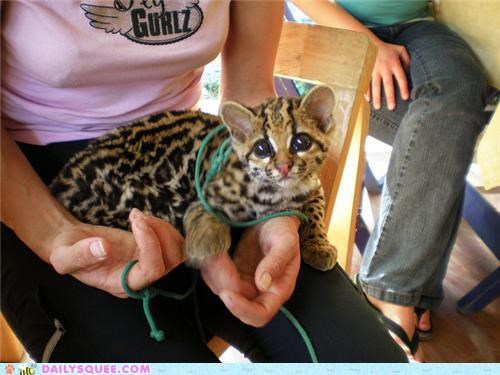 baby,cub,eyes,favorite,feature,Hall of Fame,ocelot,squee spree,winner