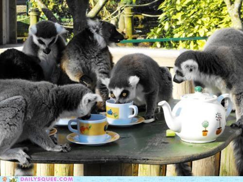 acting like animals,darjeeling,drinking,english,lemur,lemurs,sipping,tea,tea time