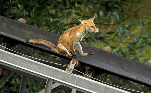 Fantastic Mr Fox of the Day