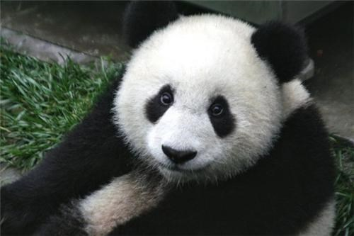 Panda-Poop Enabled Biofuel of the Day