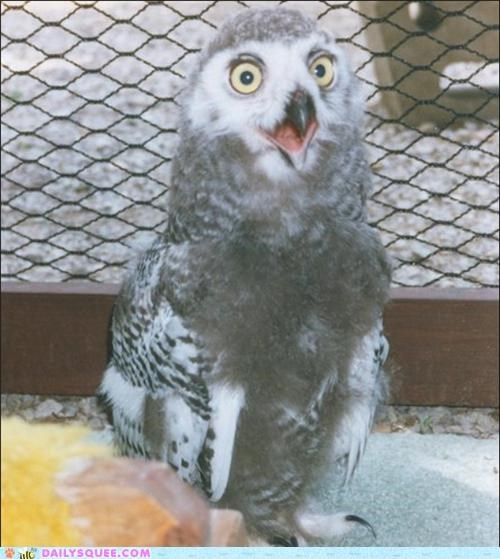 IRL,orly,Owl,owlet,snowy owl,snowy owlet,squee spree,TLL