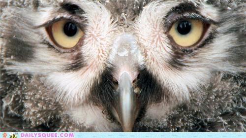 baby,closeup,eyes,gaze,Owl,owlet,snowy owl,snowy owlet,squee spree