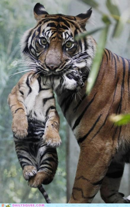 asleep,baby,full-contact,Hall of Fame,mother,sleeping,sport,tiger,tigers,tucking in,whatever works