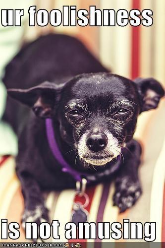 chihuahua,do not want,glare,not amusing,not funny,stupid