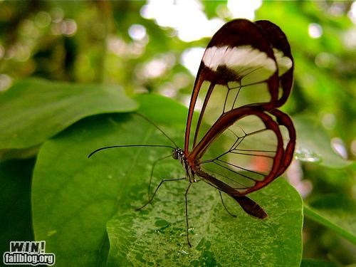 Mother Nature FTW: Transparent Wings WIN