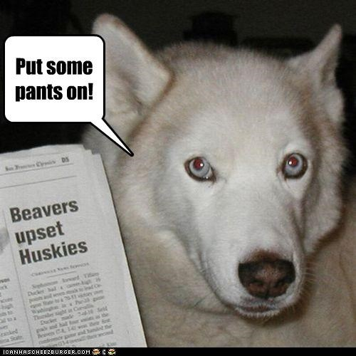 animals,beavers,dogs,double entendres,huskies,i has a hotdog,newspaper
