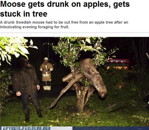 alcoholism,apples,booze news,crunk critters,drunk,moose,tree