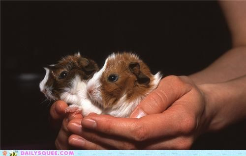 Squee Spree: Guinea Pigs Vs. Gerbils!