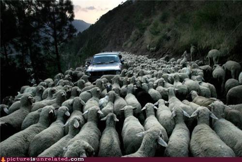 blocked,car,road,sheep,wtf