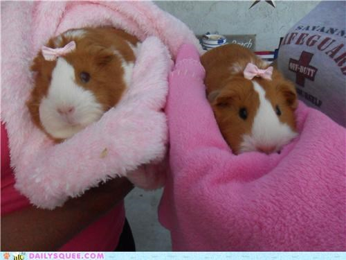 My guinea pigs Ruby and Cocoa showing off their pretty pink bows! (: