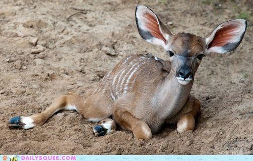baby,calf,greater kudu,kudu,mother,parent,whatsit,whatsit wednesday