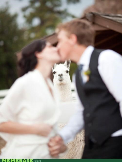 Animal Bomb,best of week,bride,groom,honeymoon,llama,wedding