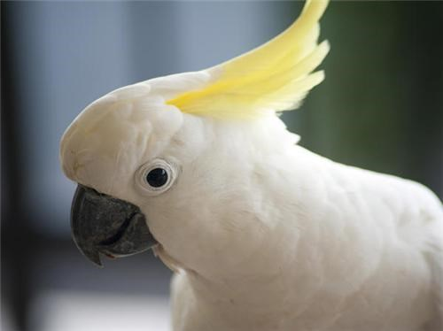 Talking Cockatoo Phenomenon of the Day