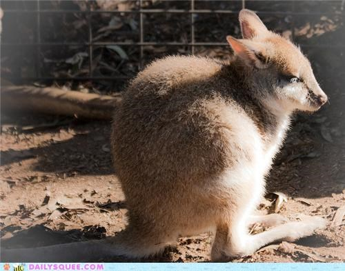 cute animals - Squee Spree: Kangaroos Vs. Wallabies!
