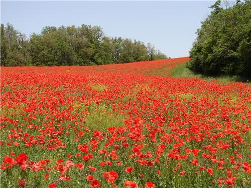 Poppy Field in France, Haute Provençe