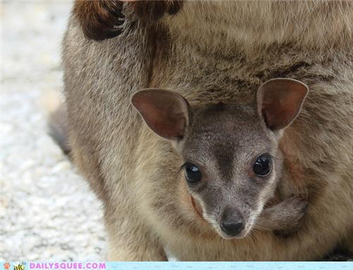 baby,Joey,mother,peeking,pouch,squee spree,wallabies,wallaby