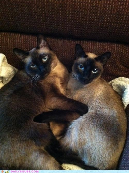 cat,Cats,cuddled,cuddling,cuddly,purebred,reader squees,siamese,sisters