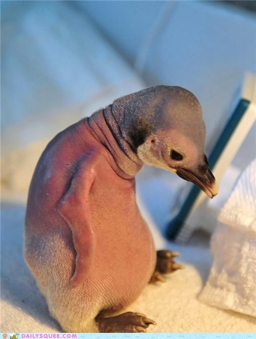 Penguin Chick Finds Feathers Through TLC