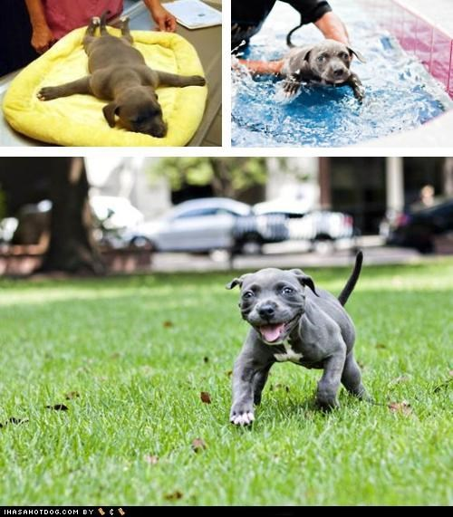 adorbz,awesome,awesome puppy of the day,harper,pit bull,pitbull,puppy,success,survivor,swimmer puppy