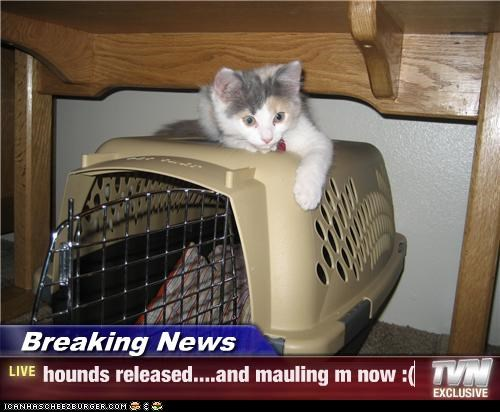 Breaking News - hounds released....and mauling m now :(