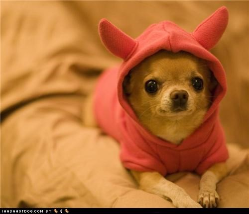 chihuahua,clothes,costume,devil,dogtober,dress up,halloween,halloween costume,howl-o-ween,little devil,october,sweater