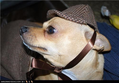 chihuahua,clothes,costume,dogtober,dress up,halloween,halloween costume,hat,howl-o-ween,investigator,mystery,october,sherlock holmes