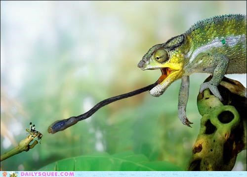 acting like animals,chameleon,eating,fly,lunch,Predator,prey,slow motion,thief,tongue