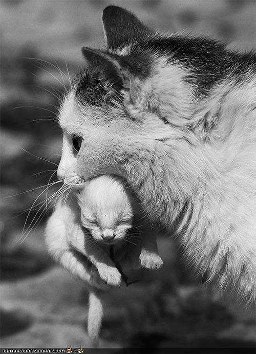 black and white,cyoot kitteh of teh day,mama,mom,newborn,scruff of the neck,tiny,two cats