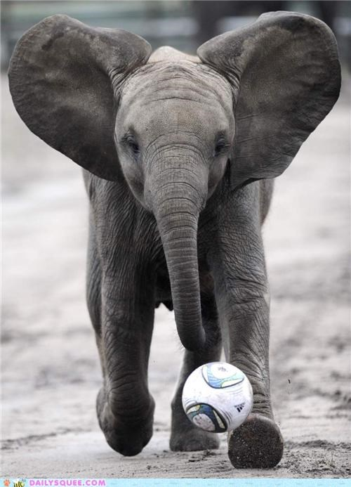 acting like animals,baby,calf,cheering,confused,crowd,elephant,football,goes,Hall of Fame,running,soccer,wild