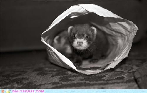 bag,ferret,ferrets,hiding,playing,reader squees,siblings