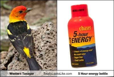 Western Tanager Totally Looks Like 5 Hour Energy Bottle