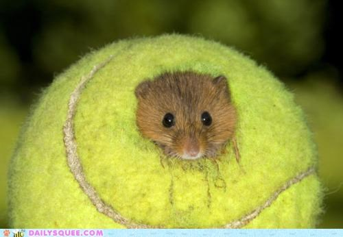 acting like animals,ball,belle,double meaning,family,Hall of Fame,hamster,home,inside,living,pun,tennis ball