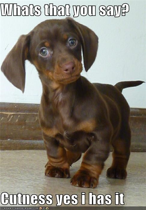 adorbz,cute,cute dog,cute puppy,cuteness,dachshund,puppy