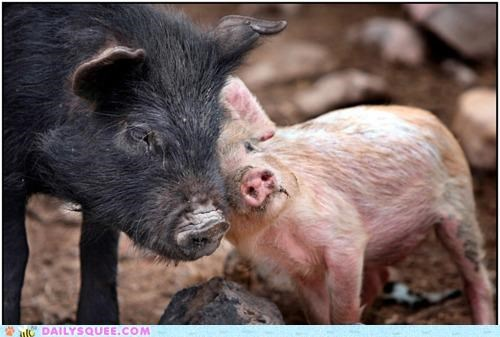 affection,dirty,friends,literalism,love,loving,pig