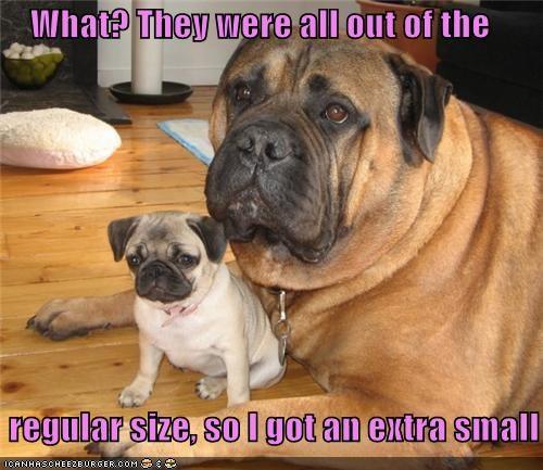 adorbz,awww,extra small,friends,friendship,mastiff,mixed breed,pug,puppy
