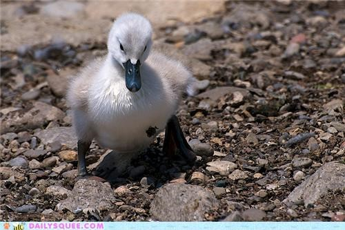 Squee Spree: Swans Vs. Loons!