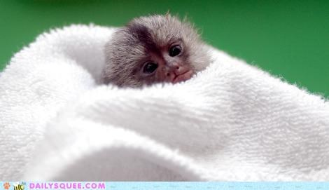 baby,cuddling,defying,logic,marmoset,tiny,towel,unbearably squee,wrapped up