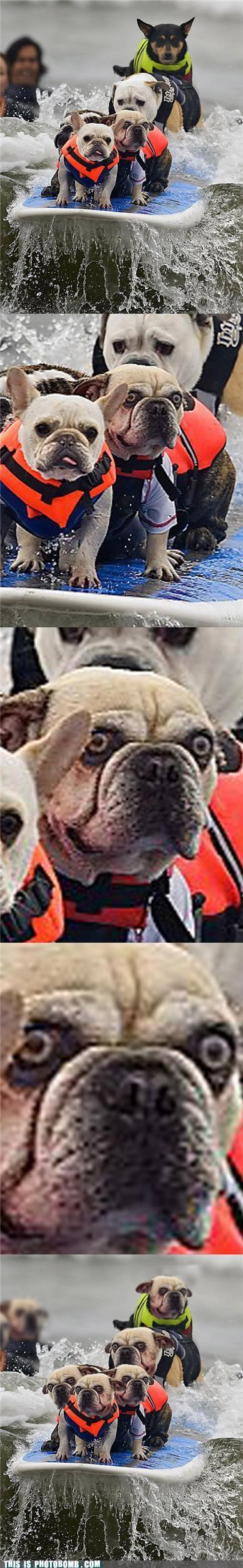 Animal Bomb,animals,best of week,cerberus,dogs,Reframe,surfing