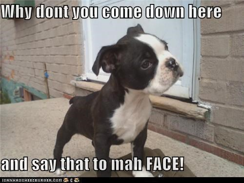 boston terrier,come at me bro,make my day,punk,punk kid,puppy,threat