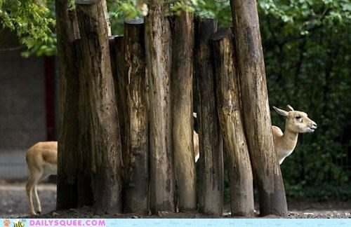 Acting Like Animals: Long Blackbuck is Long