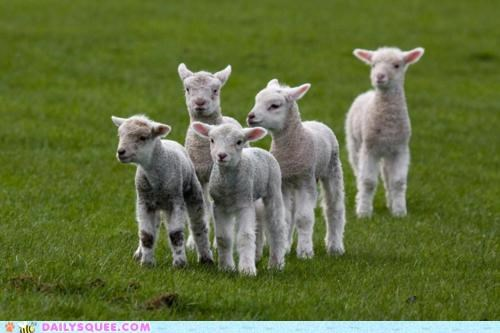 Babies,baby,confused,intoxicated,lamb,lambs,line,linear,lined up,lines,question,seeing double,sheep,unbearably squee