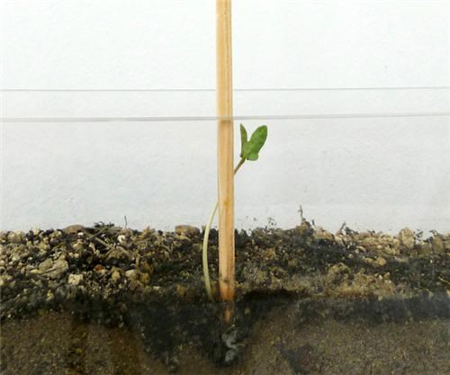 Plant-Growing Chopsticks of the Day