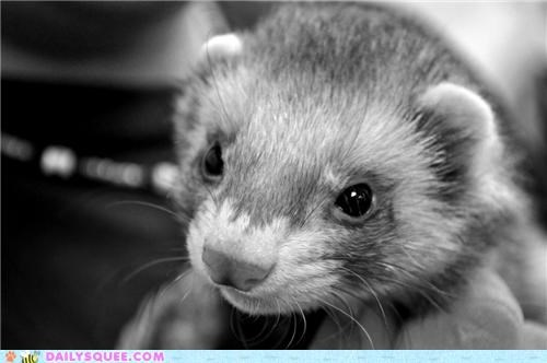 Squee Spree: Black and White Weasel Squee