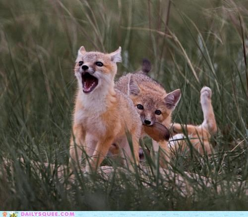 acting like animals,bite,biting,do not want,fox,foxes,kit,kits,pain,playing,pleading,please,siblings,stop,teeth